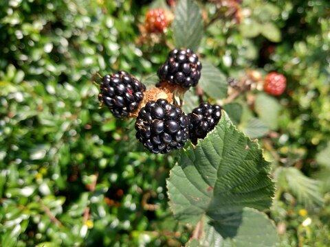 Wild blackberry bush in the garden