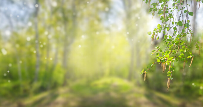 abstract sunny spring background with birch branch