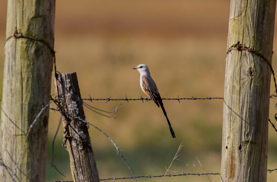 A Beautiful Scissor-tailed Flycatcher Perched on a Fence During a Summer Evening on Oklahoma