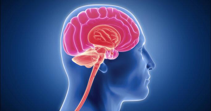Human brain detailed model, neocortex, limbic system, reptilian brain, spinal cord 3D animation