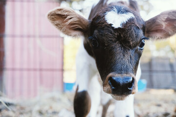 Wall Mural - Cute brown calf face being curious with wide eyes close up, calving season on farm concept.