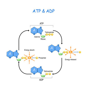 ATP ADP cycle.