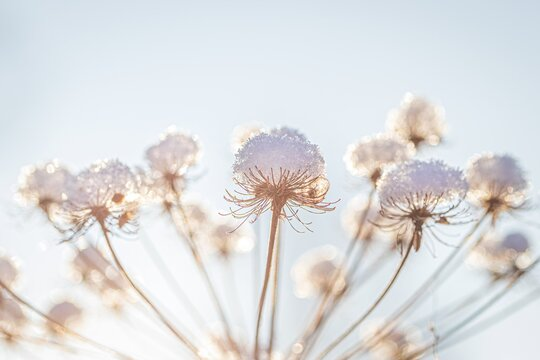 Dried flowers covered with snow and frost and illuminated by the sun at sunrise in winter.