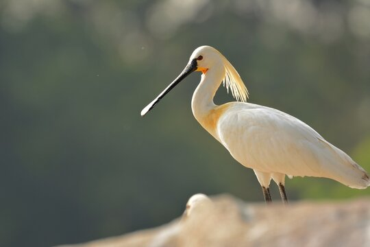 The Beautiful spoonbill is standing on rock and targetting for food in Kaveri River