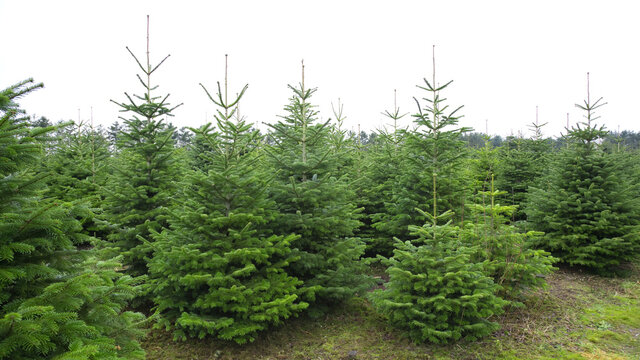 plantations of green christmas tree firs