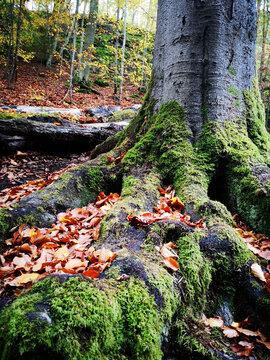 Bemooster Baum in der Drachenschlucht