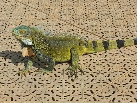 Green iguana on boat dock in Curacao