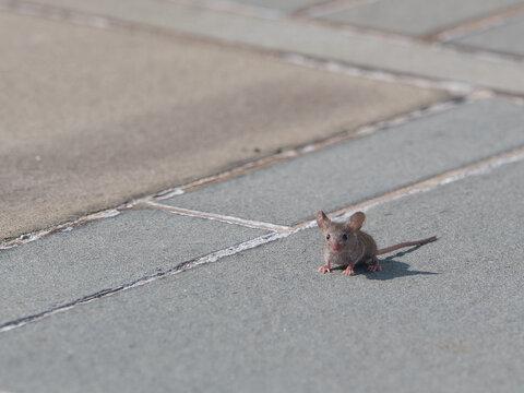 Brown rat on the street
