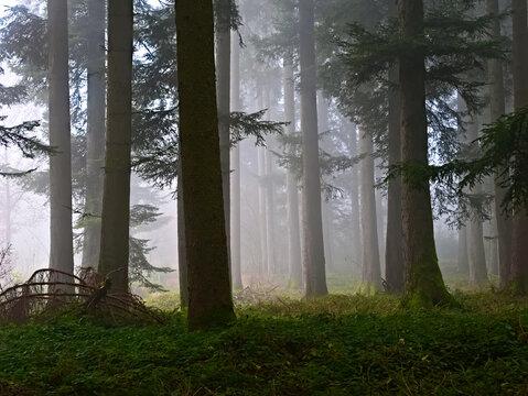 An einem nebligen Herbsttag, Nadelholz-Bäume in einem Wald. Gesehen in der Gemeinde Beromünster im Bezirk Sursee im Kanton Luzern in der Schweiz