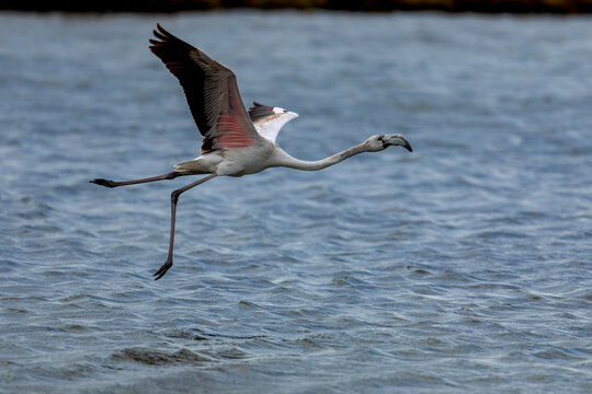 Flying flamingo over the water of lagoon Kalochori