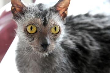 Obraz Lykoi Cat Portrait - fototapety do salonu