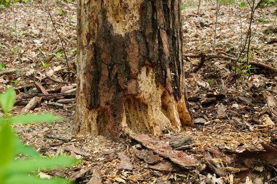 Durch Borkenkäfer geschädigter Baumstamm