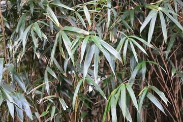 竹の葉 Wall mural