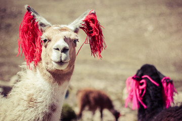 Closeup portrait of cute smiling beautiful llamas in Peru