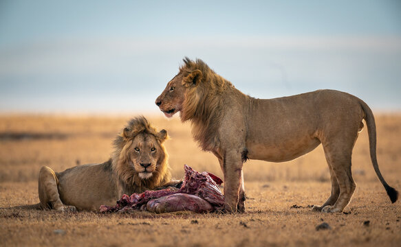 Closeup of two Panthera leo melanochaitas eating a blue wildebeest in a meadow