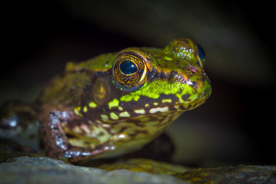Frog rests at the edge of the water half in and out waiting for prey