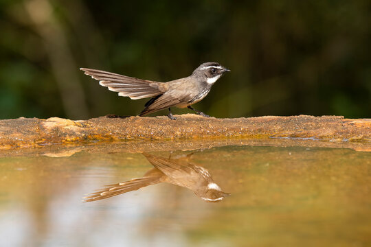 A white-browed fantail flycatcher taking bath in a small bird in the arid jungles on the outskirts of Bangalore