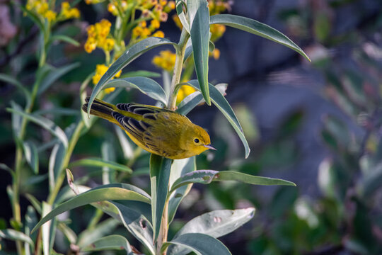 Yellow Warbler on Goldenrod