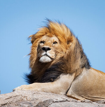 Male lion sitting on the rock under a bright sky