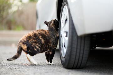 Obraz Calico Cat Rubbing Its Scent On A Car - fototapety do salonu