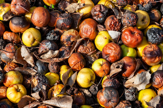 Rotten apples background ( Malus angustifolia Southern Crab Apple) in a heap rotting and decaying on the ground, stock photo image
