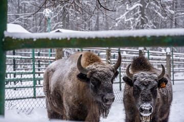 Fototapeta large brown Central Russian bison in winter conditions in the reserve