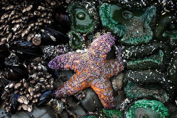 A starfish clings to a rock at low tide in Tofino