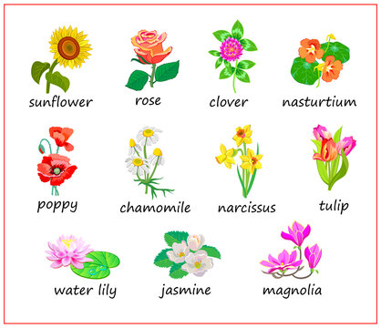 Names of flowers in English. Set of illustrations for encyclopedia or for kids school botany textbook. Educational page for children to study English language and words. Online education.