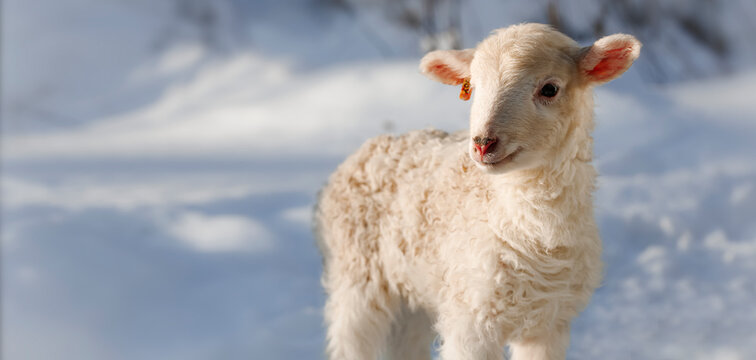 One day old Easter lamb from a Slovak farm. Tiny lamb in the winter landscape. Banner photo.