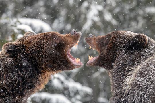 Close-up two angry brown bear fight in winter forest