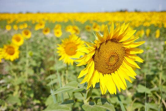 Sonnenblumenfeld in Südfrankreich