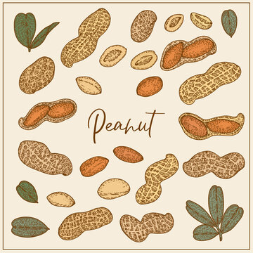 Set with Peanut, nuts and leaves. Graphic hand drawn engraving style. Botanical illustration for packaging, menu cards, posters, prints.