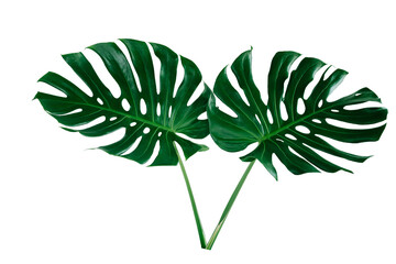 Vibrant Green Monstera Plant Leaves Against A White Background.clipping path