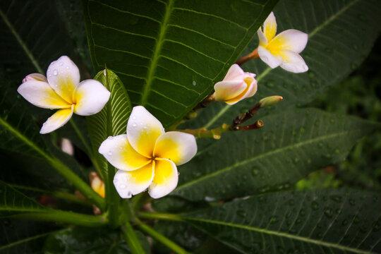 Photos of plumeria flowers in the garden