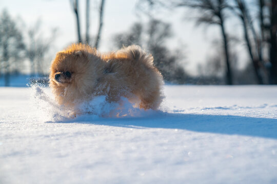 Cute Pomeranian spitz enjoying beautiful winter on a sunny day. Cute puppy.