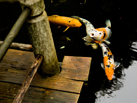 Koi fish gather near the edge of a wooden dock.