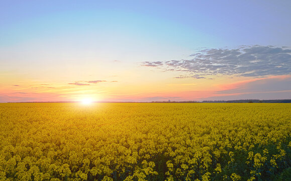 rape field on sunset