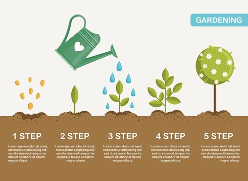 Growth of plant in ground, from sprout to flower. Planting tree. Seedling gardening plant. Timeline. Vector illustration