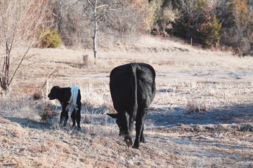 Wall Mural - Black cow with calf in Texas field with dry winter grass.
