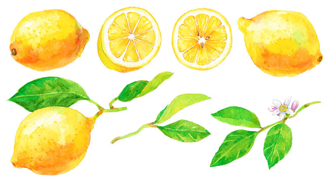 たくさんのレモン レモンの葉と花 素材集 水彩画