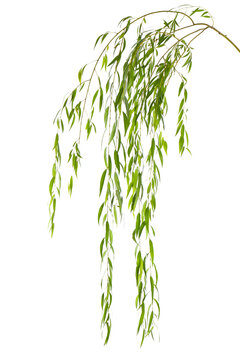 Beautiful willow tree branches with green leaves on white background