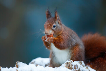 Eurasian red squirrel (Sciurus vulgaris) in the snow searching for food in the forest in the Netherlands