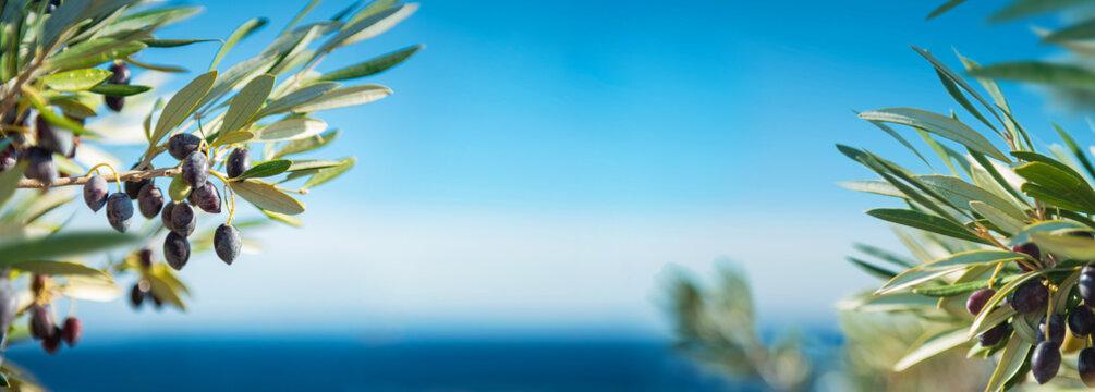 Oliven Bäume & zweige am Meer