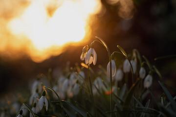 Sunset Snowdrops II