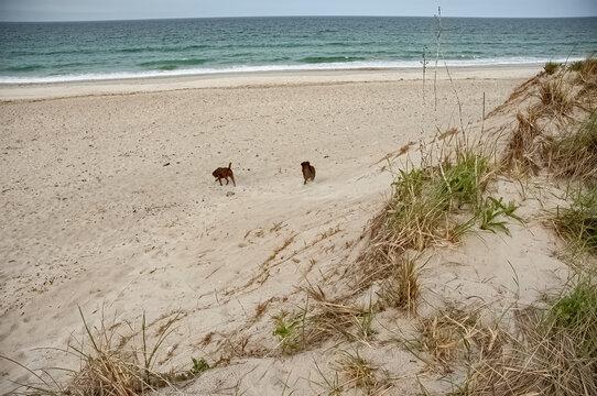 Two dogs running on the beach in Marshfield Massachusetts