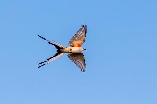 The scissor tailed flycatcher (Tyrannus forficatus) in flight, Texas