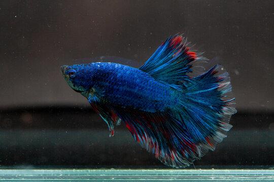 blue betta fish in the aquarium