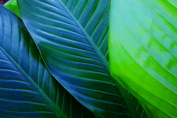 Wall Mural - abstract Dieffenbachia leaf texture, nature background, tropical leaf