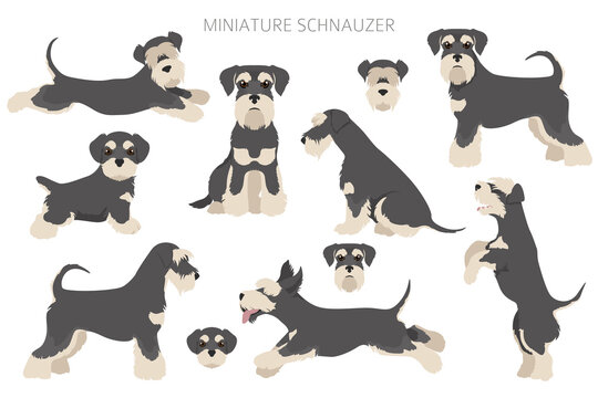 Miniature schnauzer dogs in different poses and coat colors. Adult and puppy scottie set.
