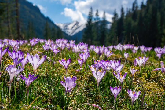 Beautiful meadow with blooming purple crocuses on woods and snowcaped mountains background. Tatra Mountains, Poland